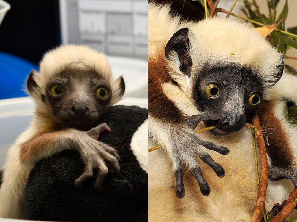 Didius, left, and Terence, right, are the newest lemurs at the DLC.