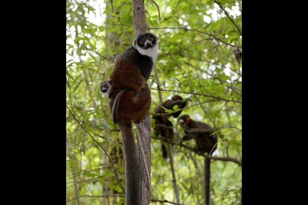 <p>Nacho,&nbsp;the mongoose lemur pictured here, is one of four new lemurs.</p>