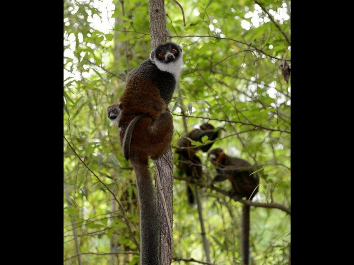 Nacho, the mongoose lemur pictured here, is one of four new lemurs.