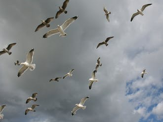 Everyday, seagulls eat at landfills and produce feces on land and water.