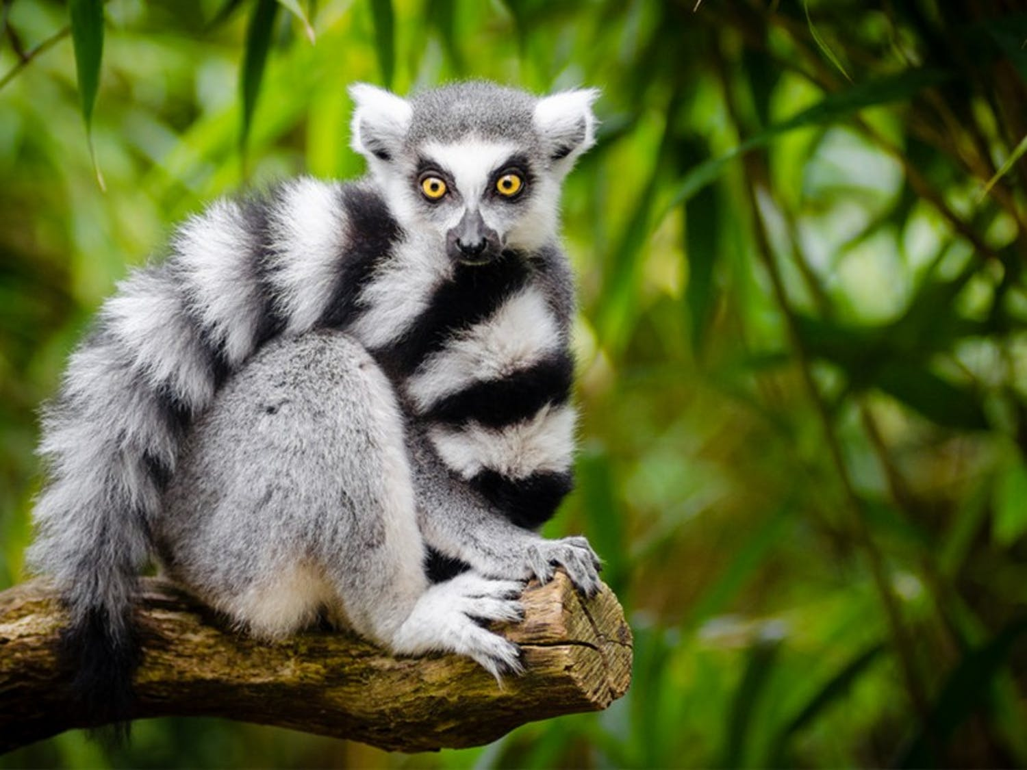Habitat loss and hunting have caused the ring-tailed lemur population to decline.