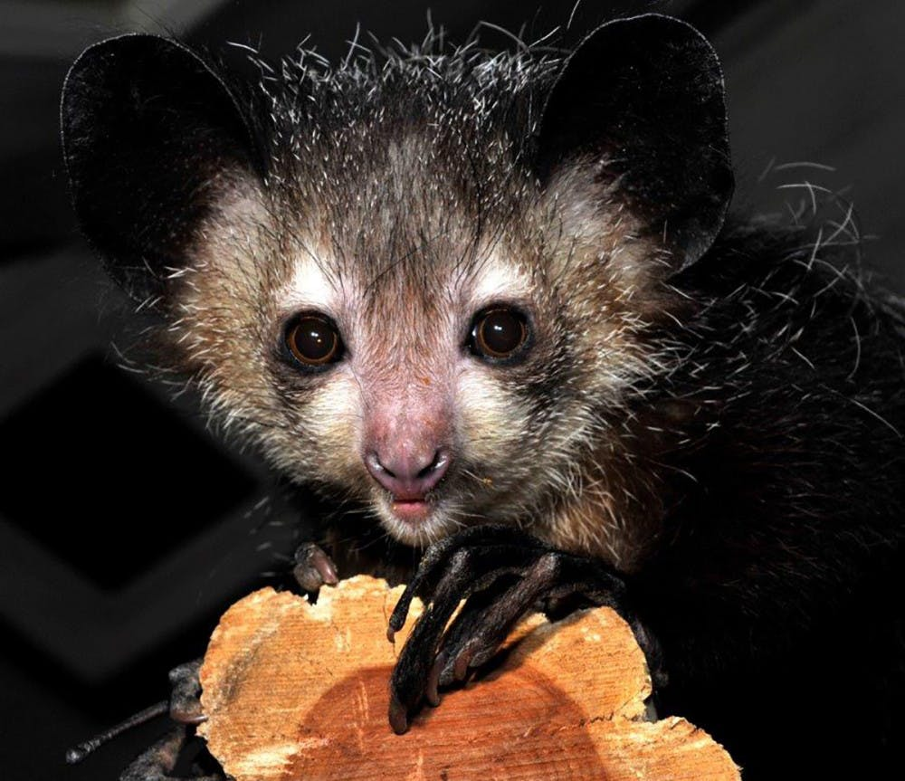 <p>Four aye-aye lemurs died last October because of toxins in avocados that they were fed.&nbsp;</p>