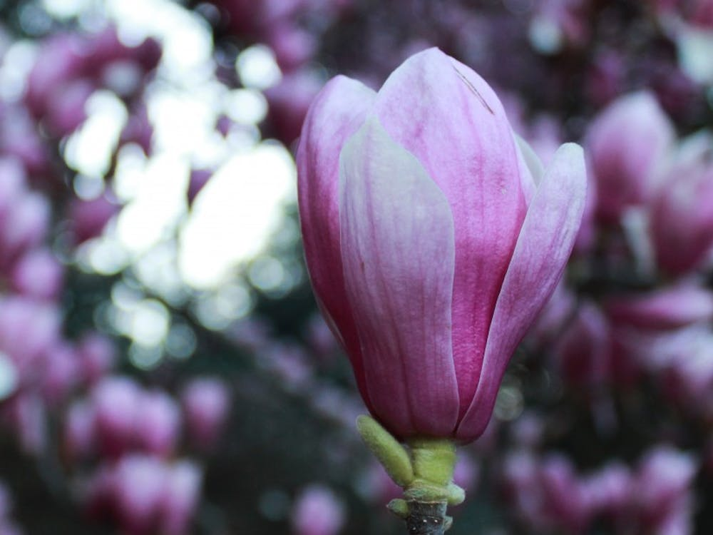 The pink magnolia flowers are a popular photo spot.