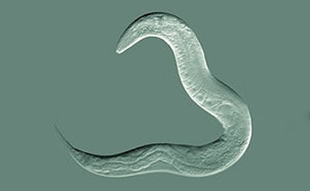 <p>C. elegans worms are translucent, so the researchers were able to visualize the invasion of cells by using them in experiments.</p>