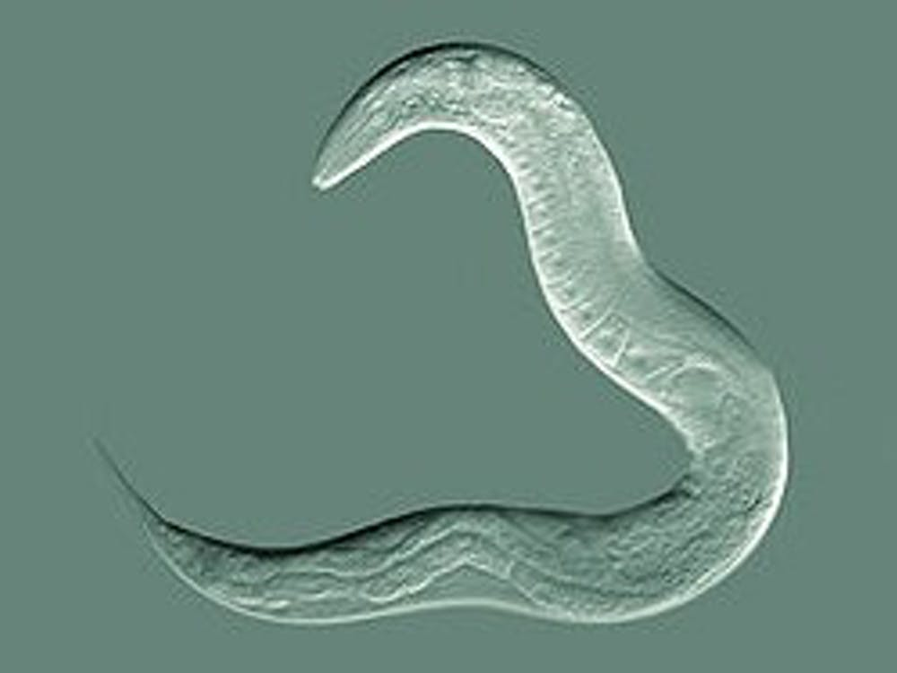 C. elegans worms are translucent, so the researchers were able to visualize the invasion of cells by using them in experiments.