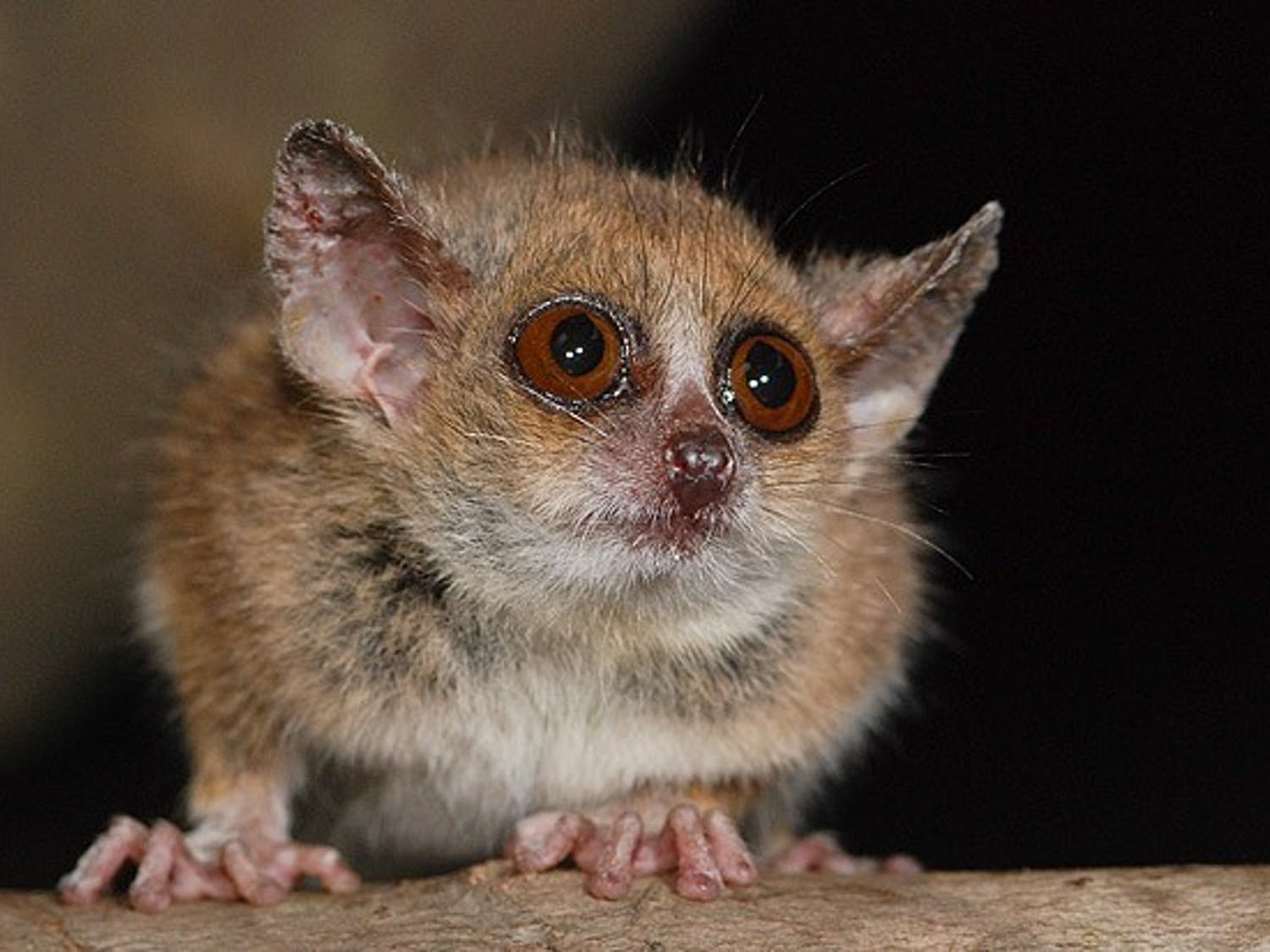 An international team of researchers, including one from the Duke Lemur Center, recently identified two new species of mouse lemurs.