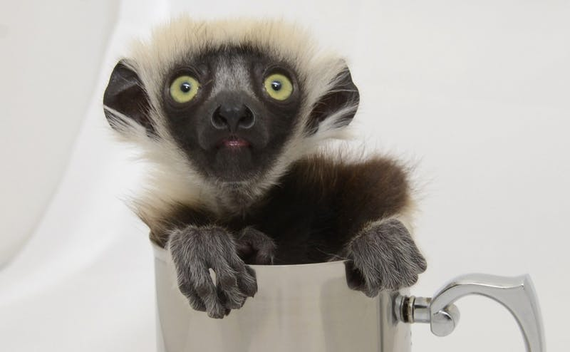 Ten lemur babies have been born to mothers living in the Duke Lemur Center.