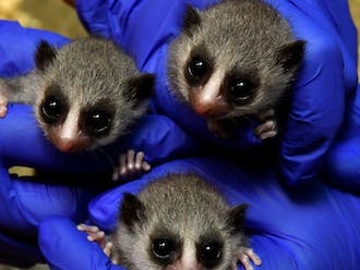 The lemur triplets at 17 days old. Photo by David Haring. Courtesy of the Duke Lemur Center.