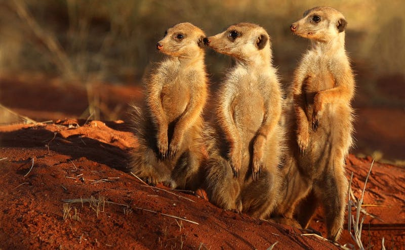 The research team will be looking at meerkat genetics and how they change during the course of the animals'social development.