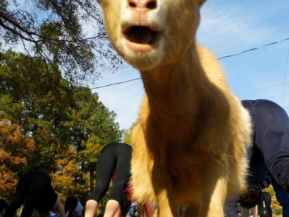 Located near campus,Hux Family Farm offers meditation and yoga classes with goats.