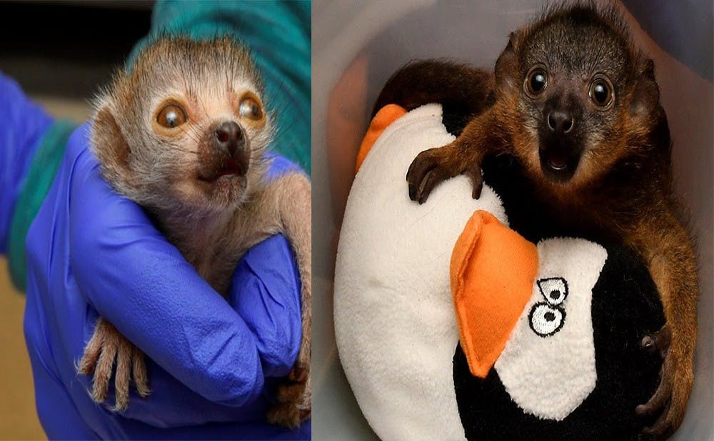 The two newest lemurs at the Duke Lemur Center: Nedjem (left) and Céline (right). Courtesy of David Haring, Duke Lemur Center.