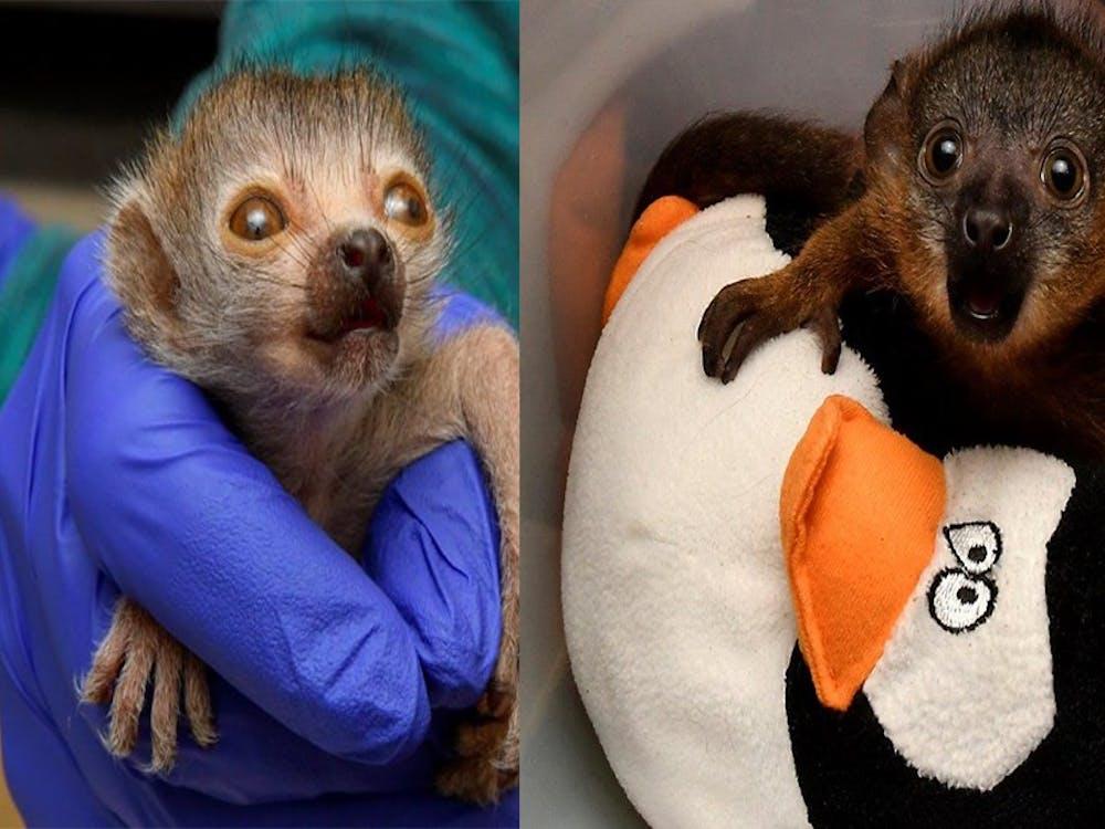 The two newest lemurs at the Duke Lemur Center: Nedjem (left) and Céline (right). Courtesy of David Haring, Duke Lemur Center.
