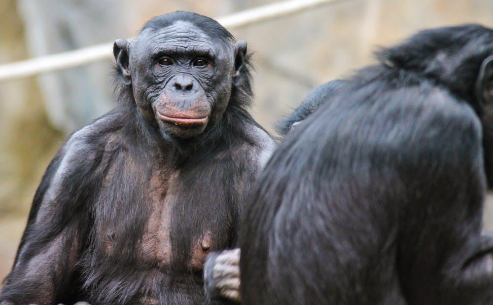 Bonobos_2012