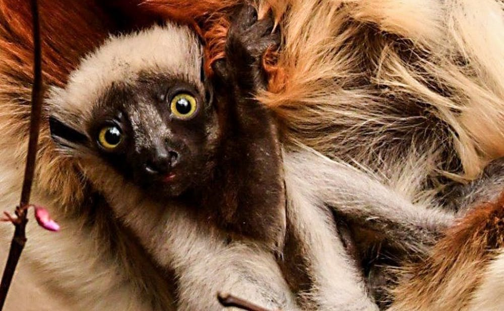 <p>Photo by David Haring, courtesy of Duke Lemur Center</p>