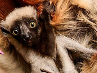 Photo by David Haring, courtesy of Duke Lemur Center