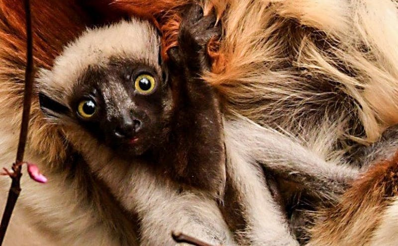 Photo by David Haring, courtesy of Duke Lemur Center