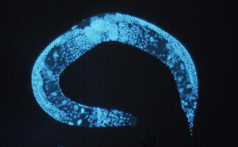 The study found that worms whose mothers were underfed during pregnancy were better able to handle famine themselves.