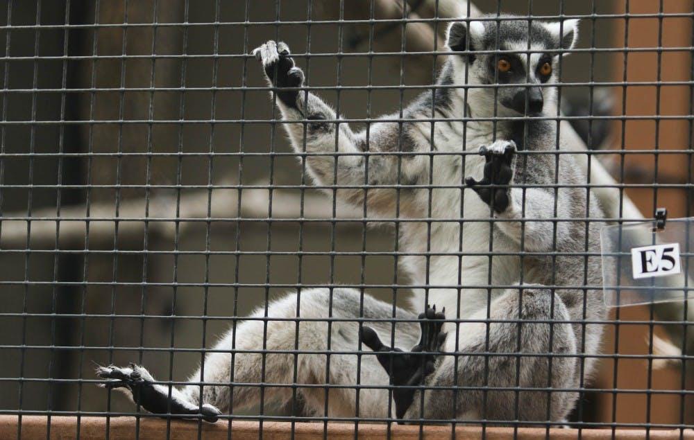 Lemurpalooza: Duke center aims to raise awareness for lemur care and conservation