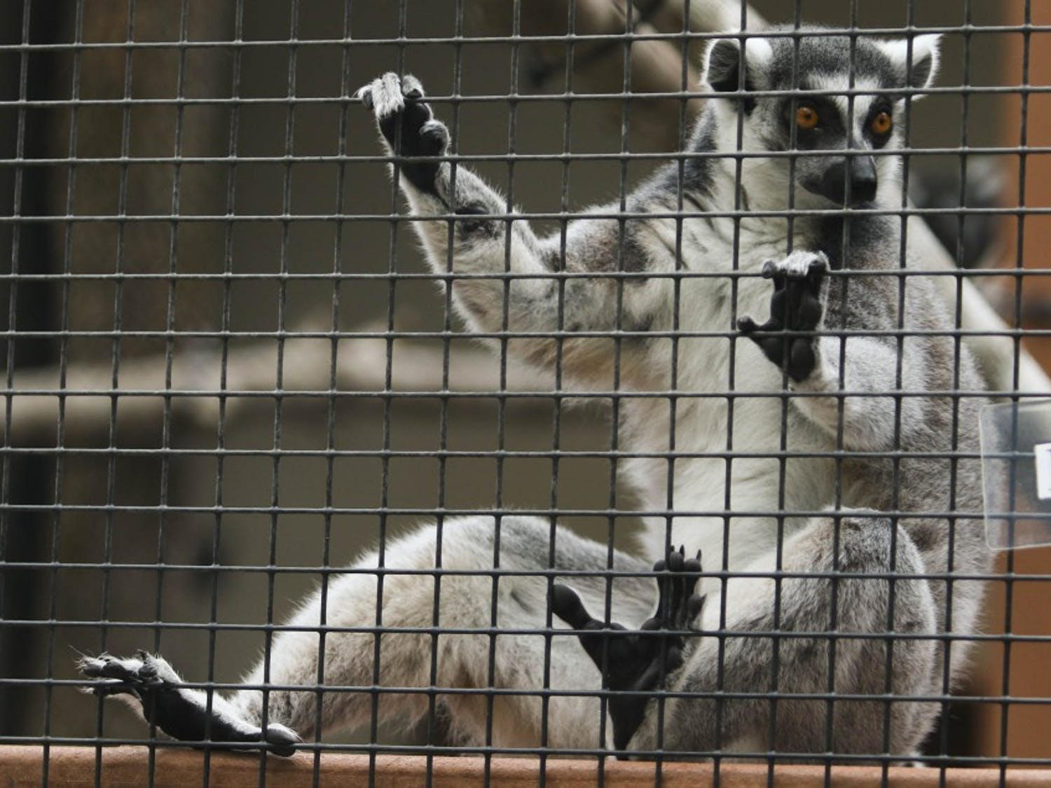 Onyx, a ring-tailed lemur, looks out of his cage during Lemurpalooza at Duke Lemur Center in Durham, NC, on Saturday.
