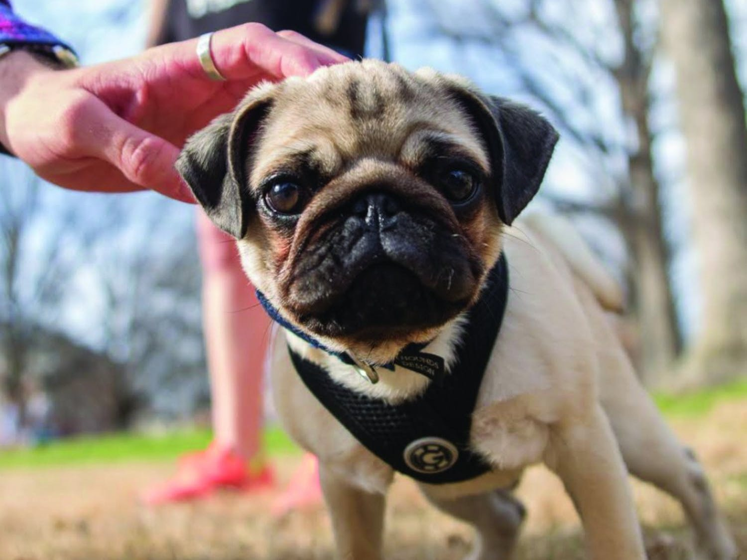 A baby pug named Yoda is pet in the quad. Students are now able to help dogs through their public relations campaign class.
