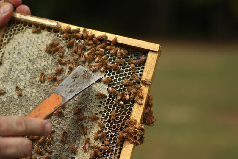 Jeff Lee, owner and beekeeper of Lee's Bees, removes a tray of bees from their hive. Recently, a new bill was proposed to protect honeybees in North Carolina from pesticide producers.