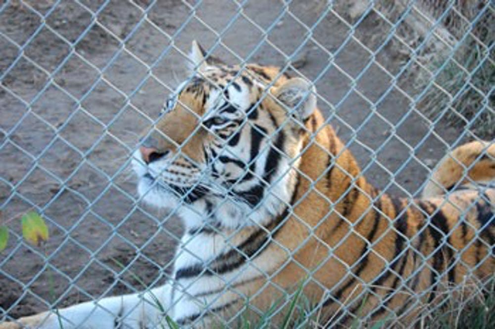 <p>A tiger reclines in its cage at Carolina Tiger Rescue in 2012. In addition to tigers the rescue houses leopards, jaguars, ocelots and other animals.The preserve offers tours to inform the public about threats to these animals.</p>