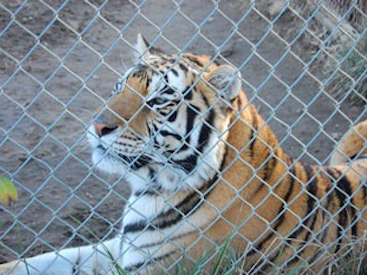 A tiger reclines in its cage at Carolina Tiger Rescue in 2012. In addition to tigers the rescue houses leopards, jaguars, ocelots and other animals.The preserve offers tours to inform the public about threats to these animals.