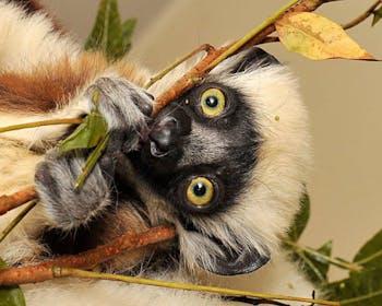 Terence is one of two lemurs born at the Duke Lemur Center this year. Photo courtesy of the Duke Lemur Center.