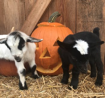Two baby goats just kidding around with a Jack O' Lantern at Spring Haven Farm.
