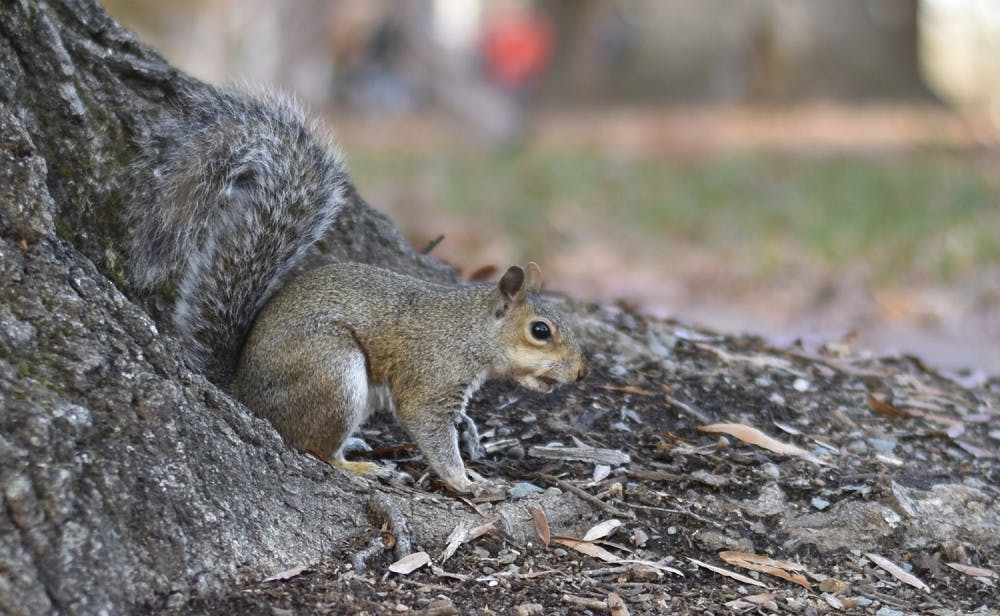 Astonishing Ul Research Reveals About 1 300 Squirrels Call Campus Home Beutiful Home Inspiration Ommitmahrainfo