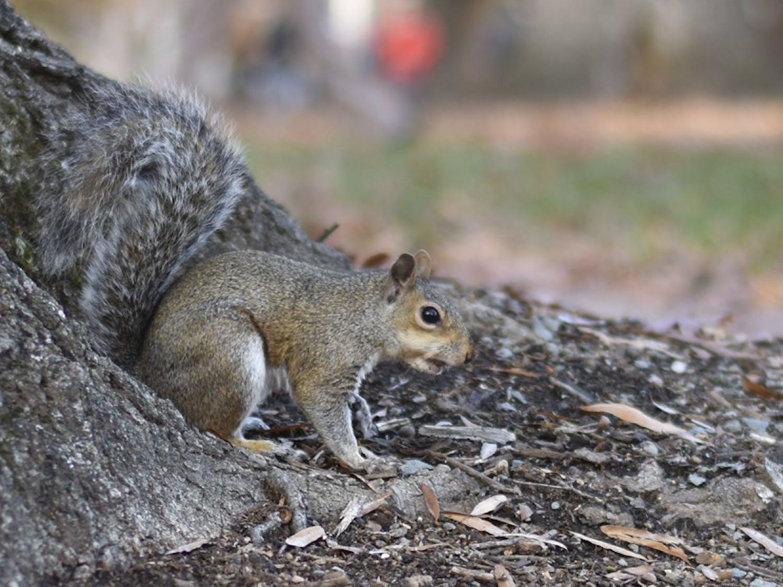 A squirrel runs down a tree in the quad.