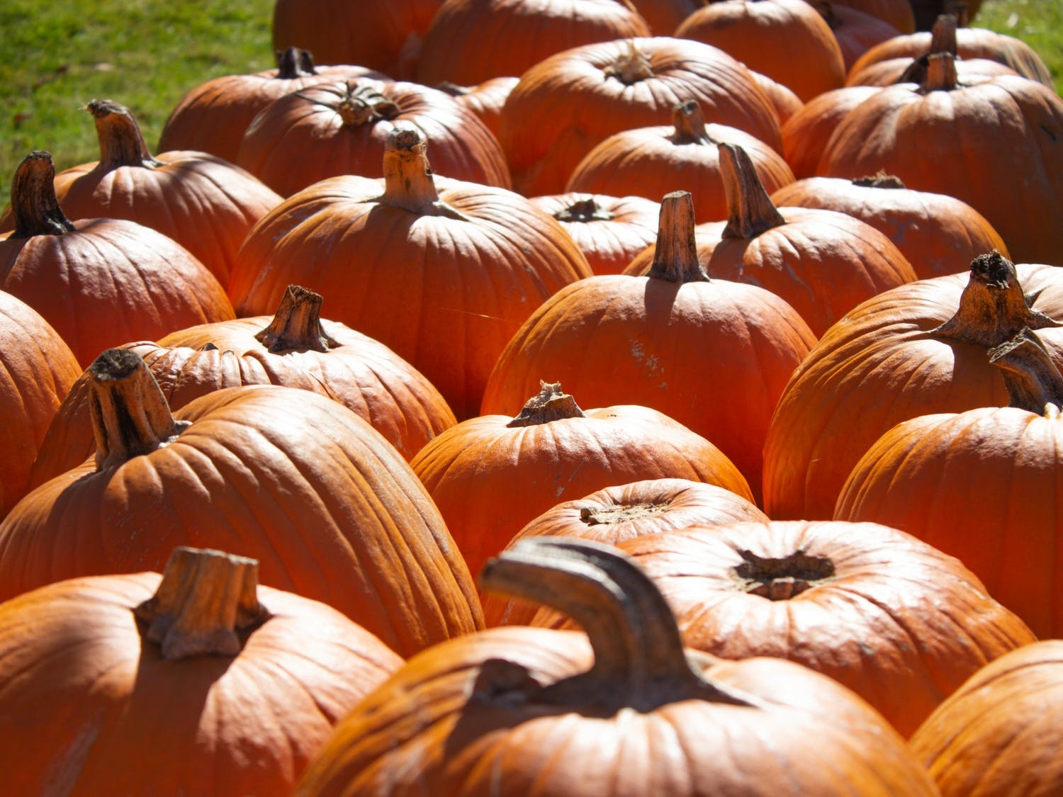 A patch of pumpkins in western North Carolina. Amidst the pandemic, people are finding ways to stay in the spooky spirit, such as by carving pumpkins.