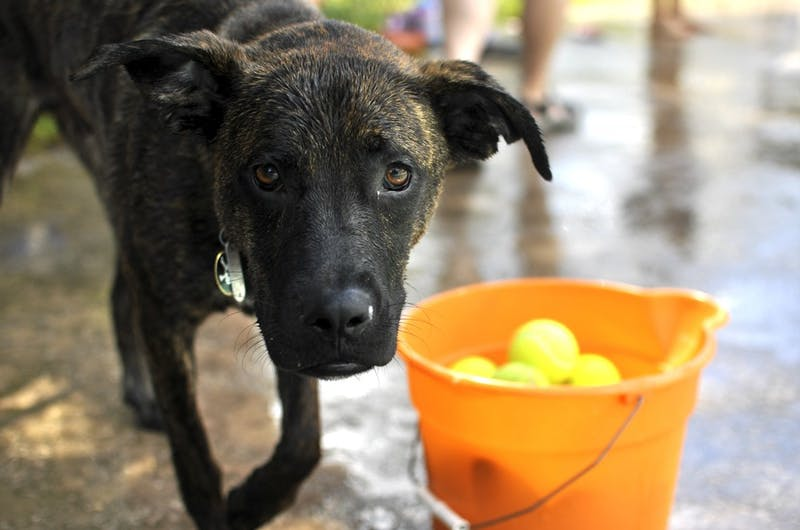 Moose, a 9-month-old Boxer mix, was one of the dogs at the Orange County Animal Services Dog Swim Sunday afternoon.