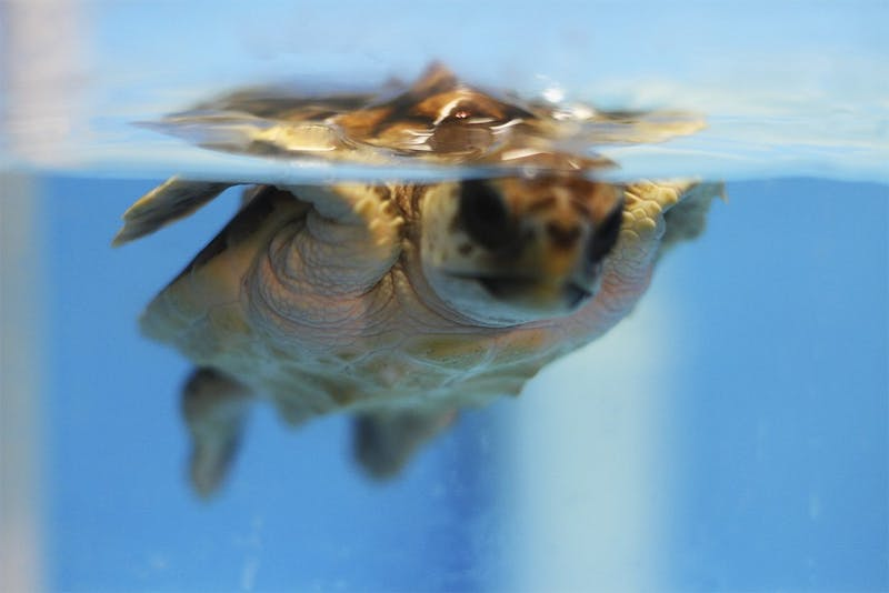 """Ken Lohmann has has been studying turtles art UNC for the past 13 years, but he and his wife have been studying them since 1995. """"Sea turtles aren't for everyone, but I never get sick of them,"""" he said."""