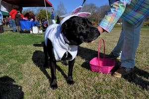 Tank, a 4-year-old bulldog-black lab mix, dressed as a bunny for the Dog Easter Egg Hunt in Hillsborough's Gold Park on Saturday morning.