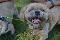 Sigmund, the Shih Tzu, smiles at the Critter Carnival on Saturday afternoon.