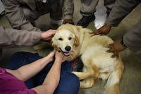 """From students couches to prison beds, Eyes Ears Nose and Paws puppies train to become service dogs. The dogs spend time with their """"puppy parents"""", usually community members, until they are then trained by inmates in Warren Correctional Institution and Caswell Correctional Center in North Carolina.  The mission of EENP is to offer life-changing support to clients while also giving inmates a chance to learn skills they'll need once they are discharged. The dogs help to bring joy, purpose and a sense of home to inmates around the state."""