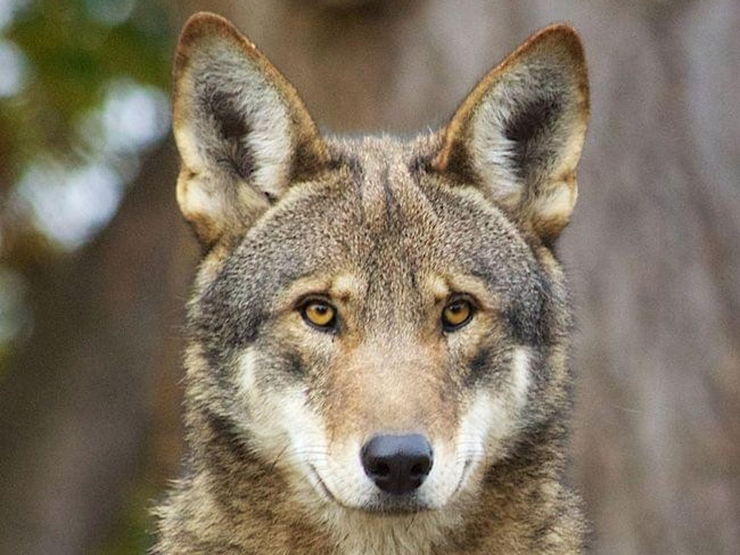Red wolves are one of the world's most endangered species. Photo courtesy of B. Bartel, U.S. Fish and Wildlife Service.
