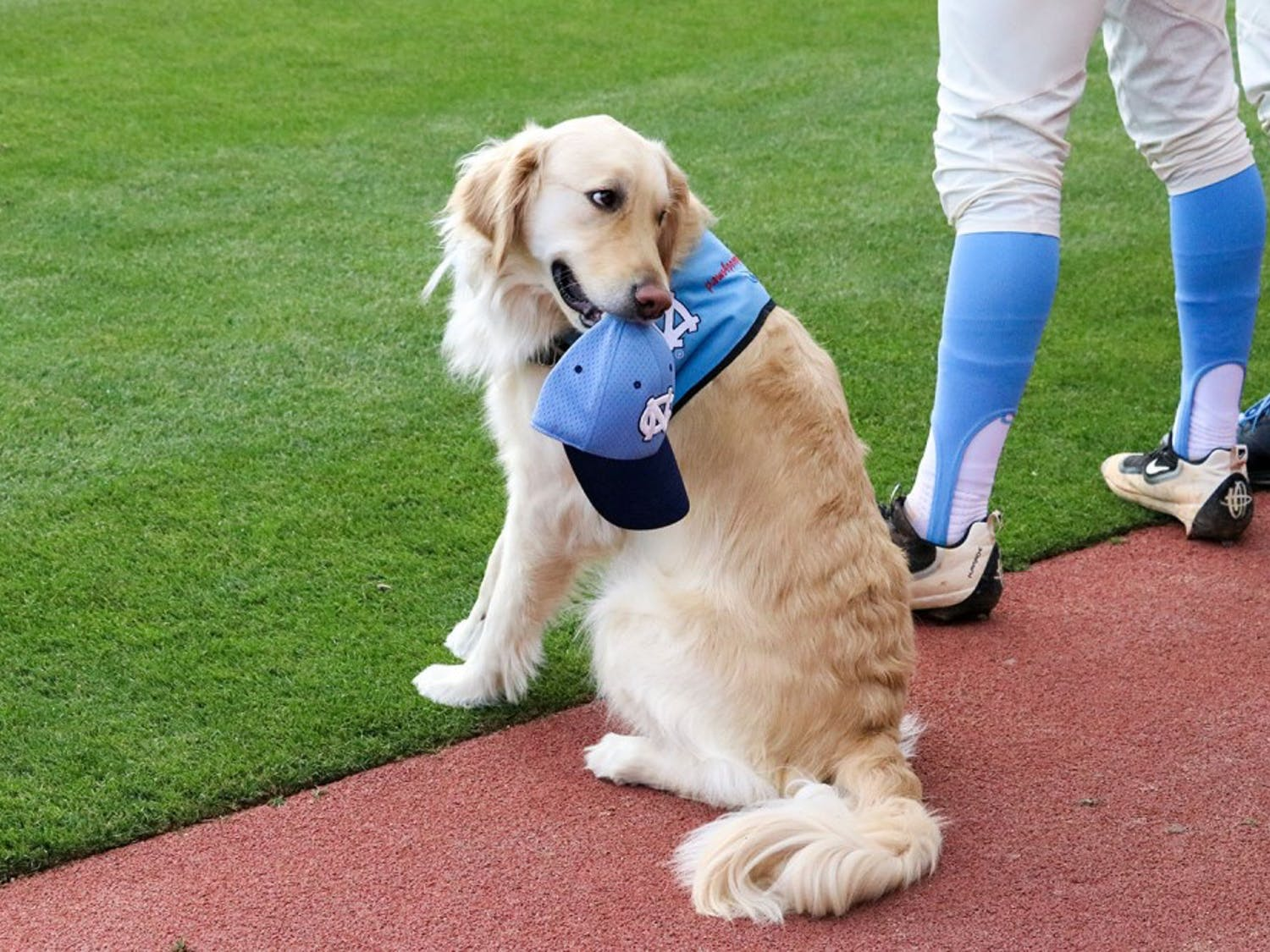 REMINGTON is a member of the North Carolina baseball team this season. As the service facilities dog, he aids the players with physical therapy as well as carrying out the game ball.