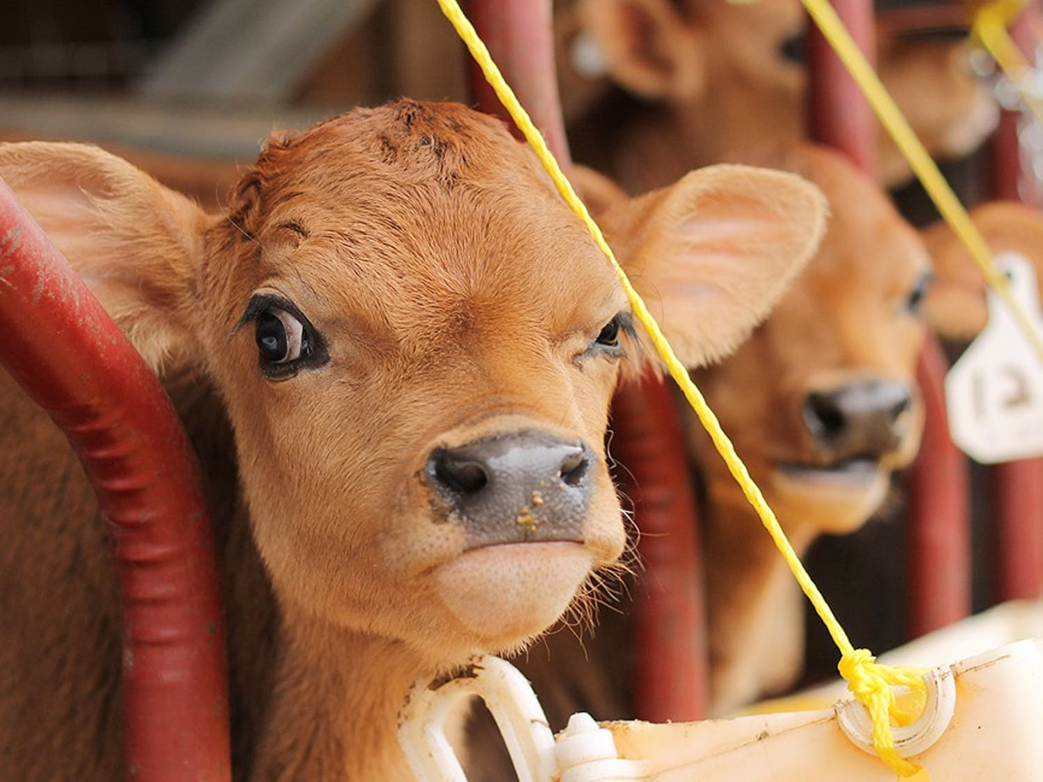 """After the delivery of calves from their cows, the Chapel Hill Creamery decided to involve the community in naming the new additions to the farm. At the Piedmont Farm Tour on April 27th and 28th, there will be a 'name the calf' contest where attendees can suggest a name for all the calves born at the Creamery in March and April. Portia McKnight, co-founder of the creamery with Flo Hawley, said, """"We have a new calf that was born just this morning."""""""