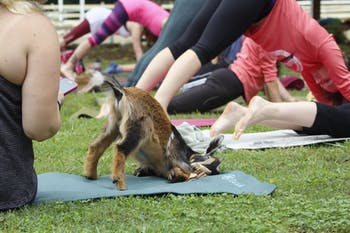 A goat stretches out during goat yoga Saturday morning.