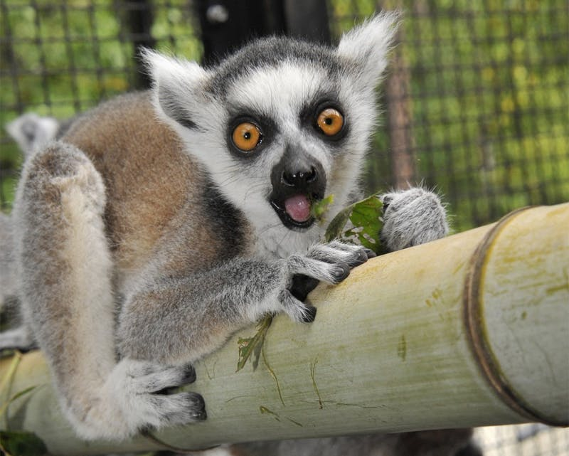 Duke University is holding the fifth bi-annual Lemurpalooza this Saturday at the Duke Lemur Center (courtesy of Janice Kalin).