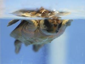 One of the loggerhead sea turtles studied by UNC biology professor Kenneth Lohmann swims.