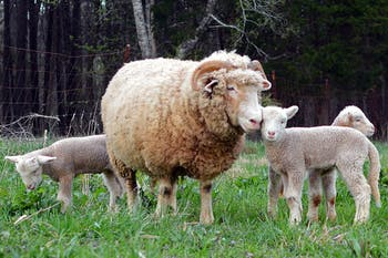 Several rams roam about at Hogan's Magnolia View Farm on Old N.C. 86 on Tuesday evening. Rameses, UNC's mascot, recently became the father of three baby lambs.