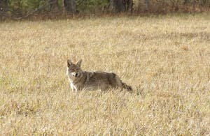 Coyote hunting in a field in Cades Cove. Photo courtesy of Missy McGaw.