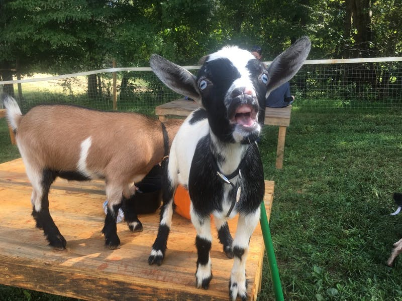 Goats participate in Spring Haven Farm's Fall Festival, held every weekend in October.