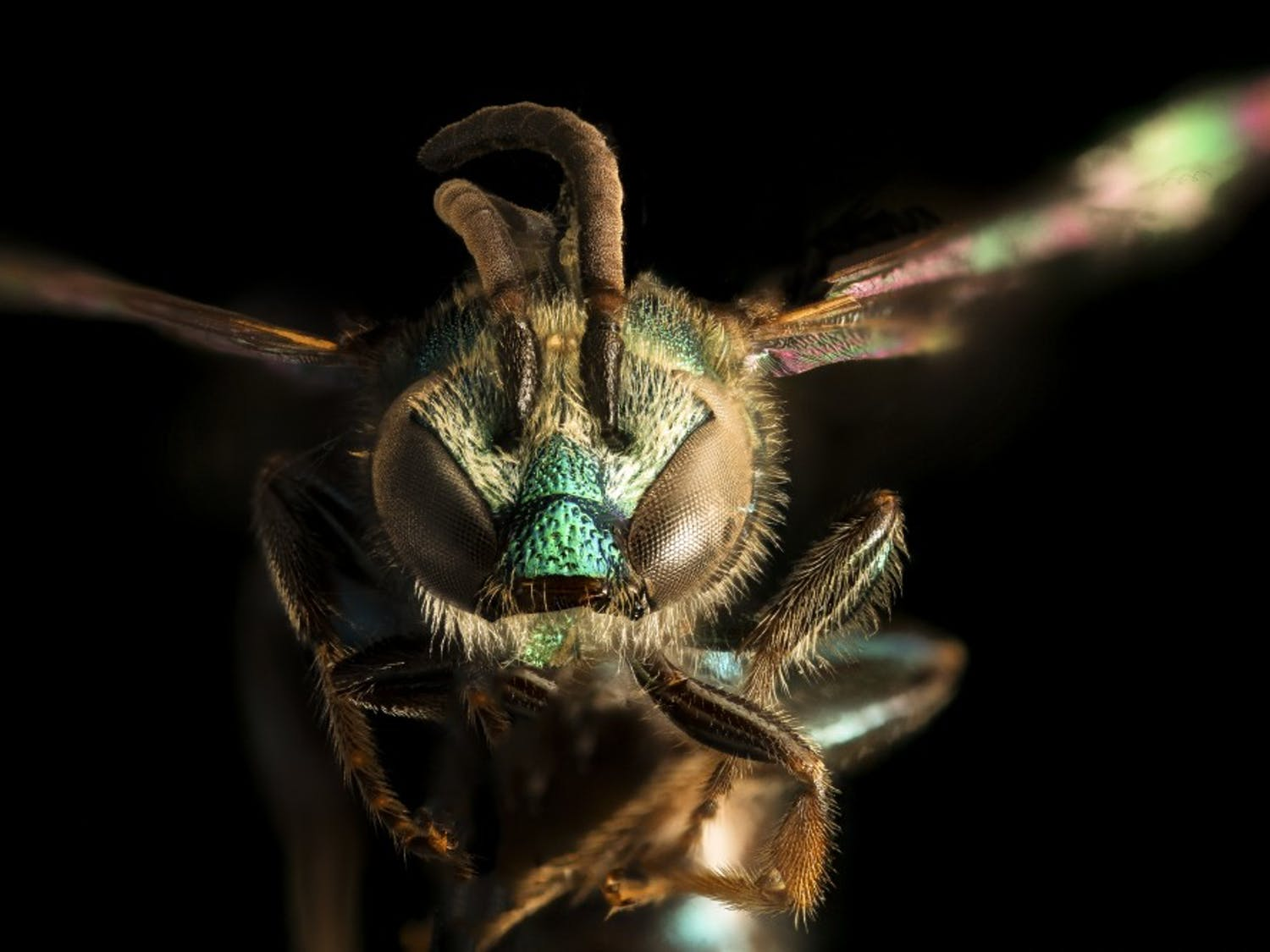 The Augochlora pura is one of the most common bees in Eastern North America. Photo by Amanda Robinson.
