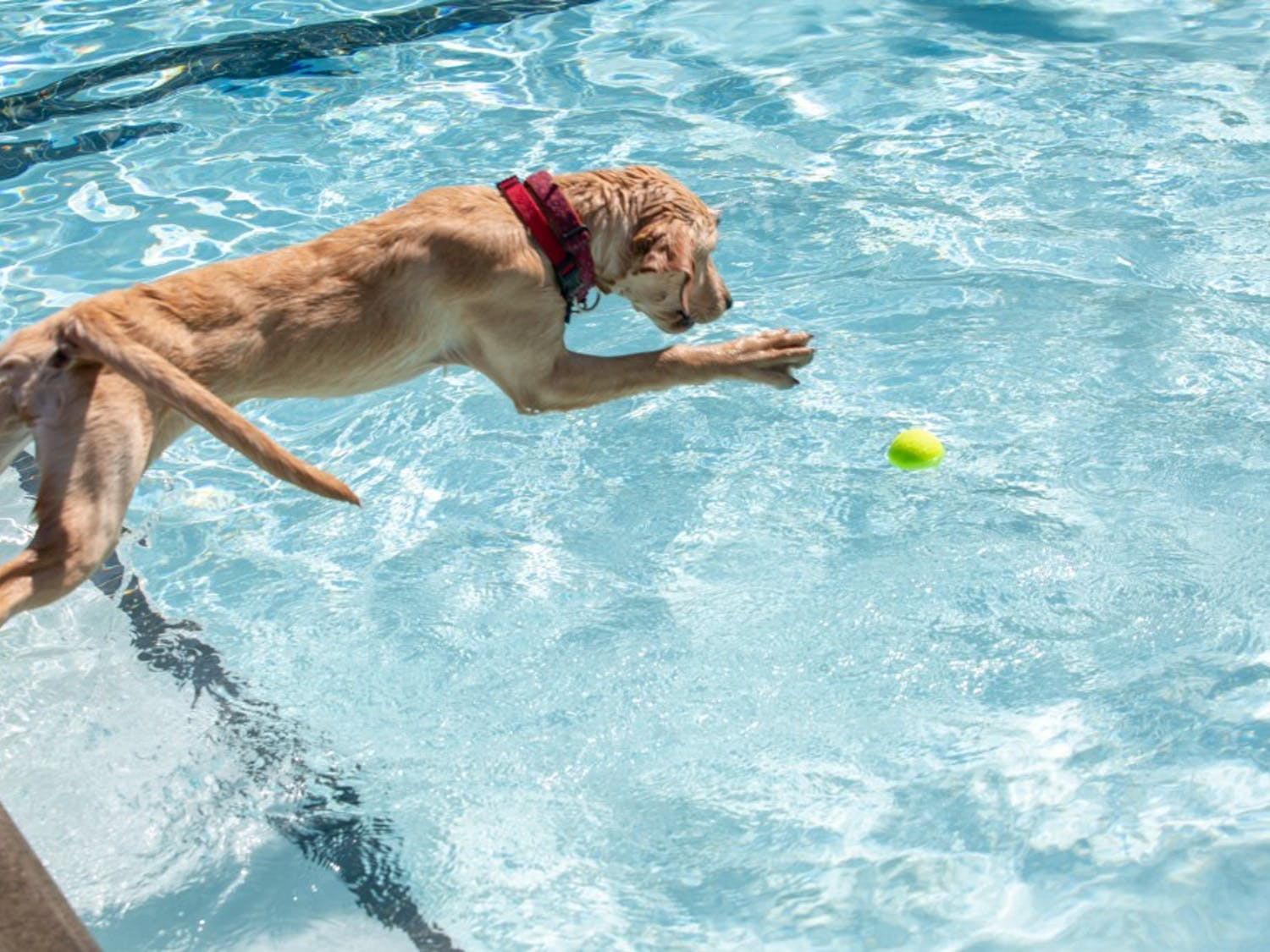 Brie jumps into the pool at Orange County's 15th Annual Dog Swim at Heritage Hills Pool in Chapel Hill, NC on Sunday September 22, 2019.