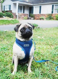 Pug Thadeus (aka the dog in the pictures) is put in a harness in his front yard by his owner Allison Tarr on Tuesday, September 13 on Dogwood Lane in Chapel Hill