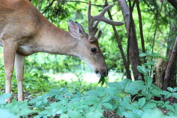A campus deer grazes in the Coker Arboretum on Wednesday, Aug. 12th.
